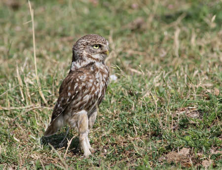 Little Owl walking Stock Photo