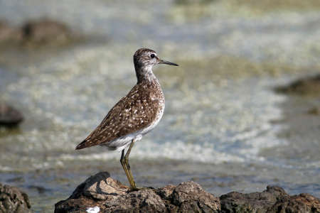 green sandpiper standing on the swamp coast Stock Photo