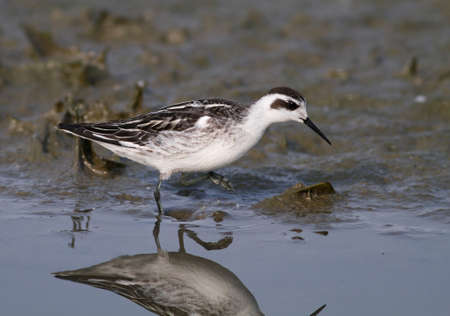 red-necked phalarope hunting in the mud