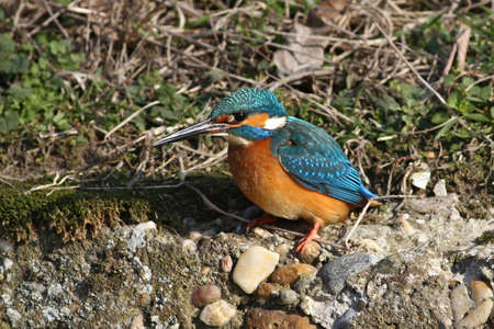 Kingfisher waiting for prey