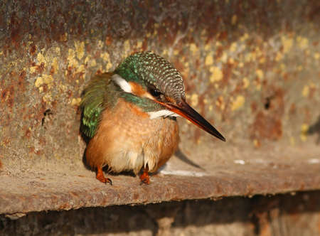 Kingfisher standing near water and waiting for prey