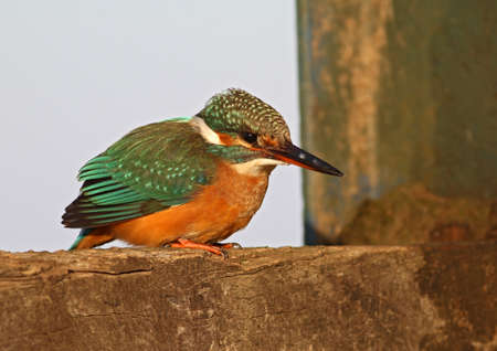 Kingfisher standing on the dock and observing for prey Stock Photo