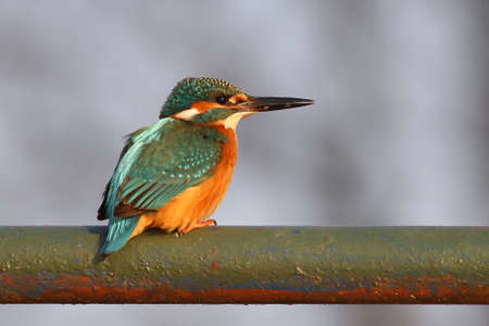 Kingfisher standing on the old tube near water
