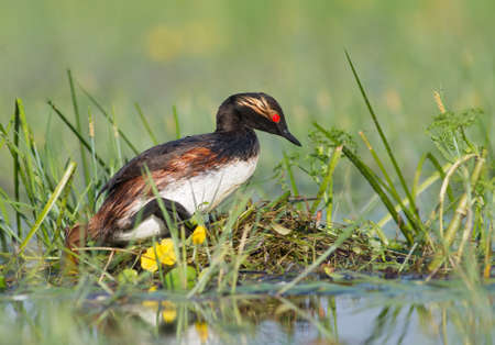 The Black-necked Grebe sitting on the nest Stock Photo