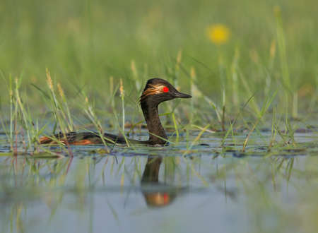 The Black-necked Grebe in the water
