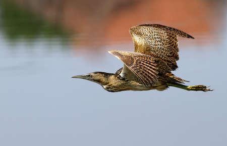 bittern: Eurasian Bittern in flight Stock Photo