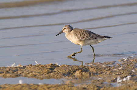 Calidris canutus - Red knot lookin for food
