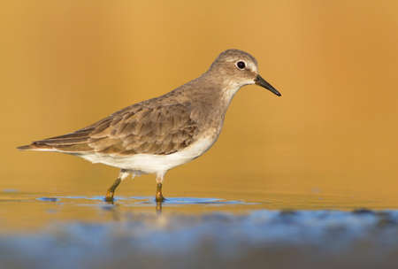 Temminck s Stint - calidris temminckii Stock Photo