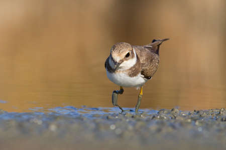 Little Ringed Plover - charadrius dubius looking for food