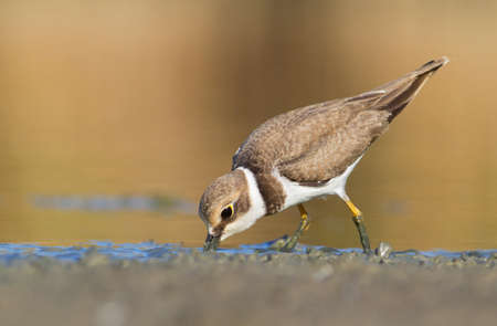 Little Ringed Plover - charadrius dubius feeding
