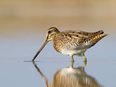 Common snipe - Galinago galinago