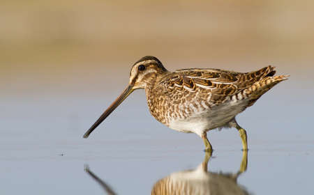 Common snipe - Galinago galinago Stock Photo
