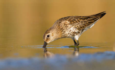 dunlin catching its prey