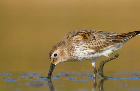 beautiful dunlin  Stock Photo
