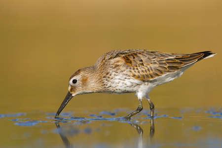 dunlin - looking for food