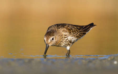 dunlin looking for food