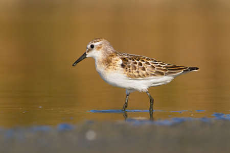 Little stint wandering in the shallow water