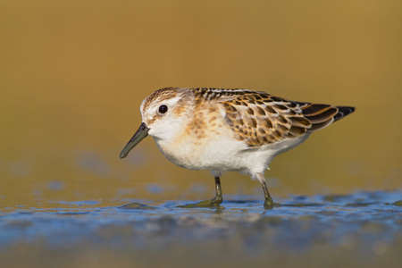 little stint looking for food