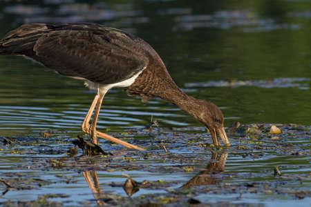 juvenile black stork catching fish photo