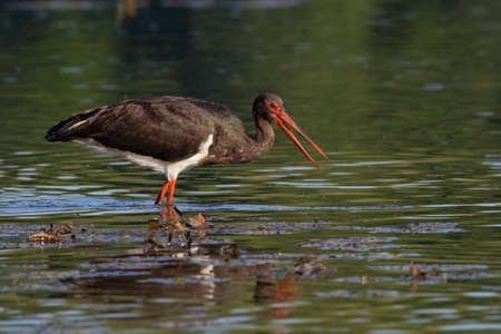 black stork Stock Photo