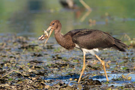 beautiful juvenile black stork with captured pike Stock Photo