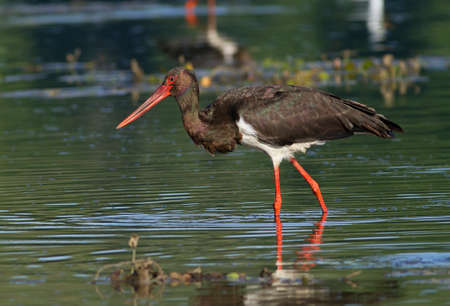 beautiful black stork Stock Photo