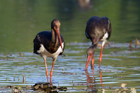 black storks looking for food