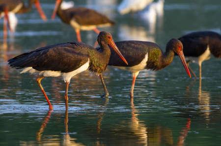 a group of black storks