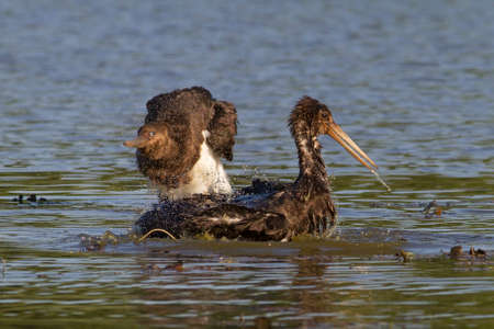 two juvenile black storks bathing