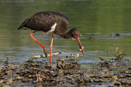 black stork with captured little fish Stock Photo