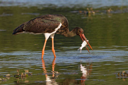 beautiful black stork with captured fish Stock Photo