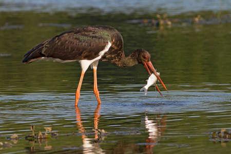 black stork: hermosa cig�e�a negro con pescado capturado