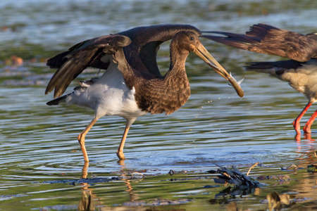 juvenile black stork geting away with captured fish