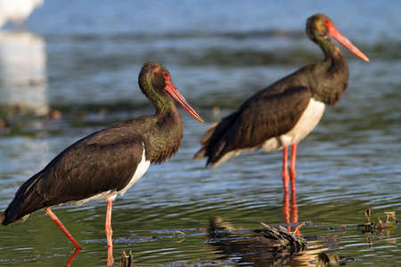 Two black storks standing in the shallow water Stock Photo