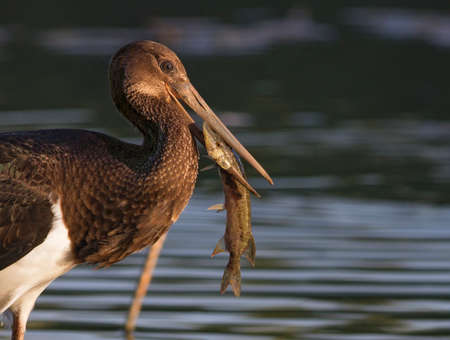Black stork eating captured pike fish