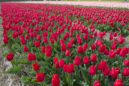 fields of flowers: Cultivation of tulip bulbs for export worldwide