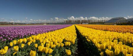 Tulp Cultuur, Noord-Holland