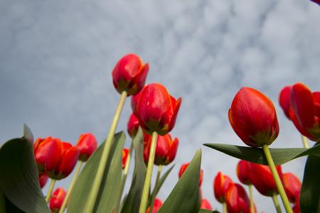 berkmeer: Tulip Culture,  North Holland