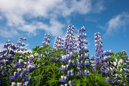 lupins: Lupins