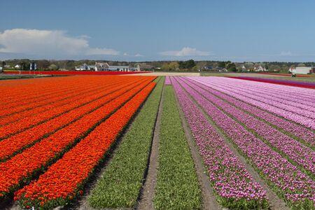 Tulip Culture,  North Holland