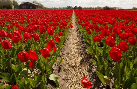 tulipan: Tulip Kultura, Holandia Północna