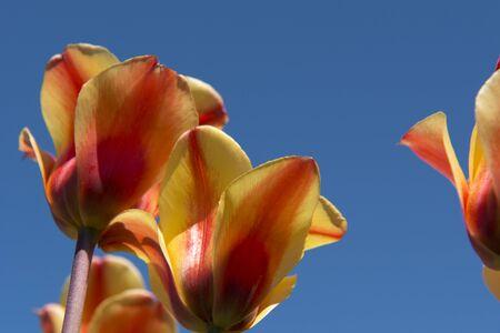 the netherlands: Tulip Culture,  Netherlands