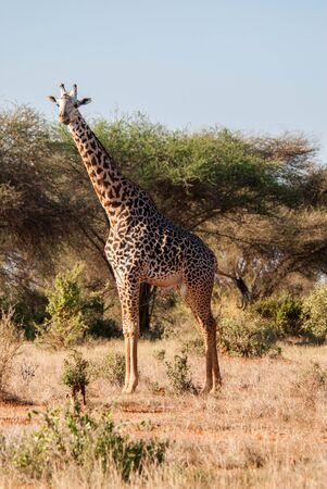tsavo: Giraffe, Tsavo East National Park