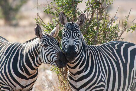 tsavo: Zebras in Tsavo East National Park