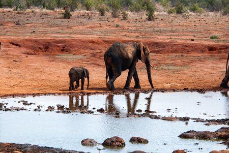 tsavo: Elephant in Tsavo East National Park