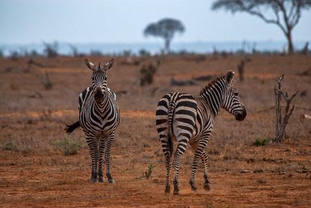 tsavo: Zebras, Tsavo East National Park Stock Photo