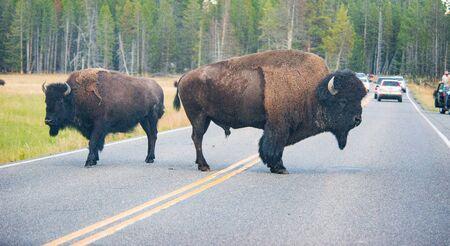 indian buffalo: Bison