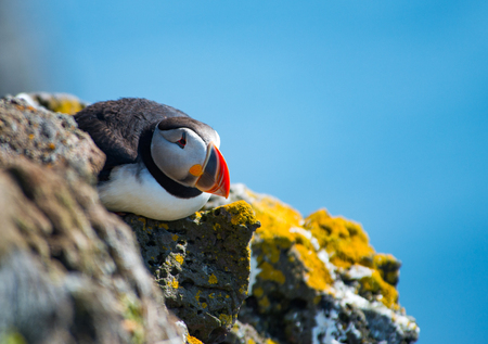 puffin: Puffin in Latrabjarg Cliff, Westfjords, Iceland