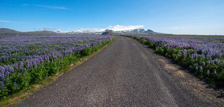 lupine: Lupine in Snaefellsnes peninsula, Iceland Stock Photo