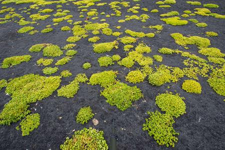 lava field: New life in lava field, Tjornes peninsula, Iceland
